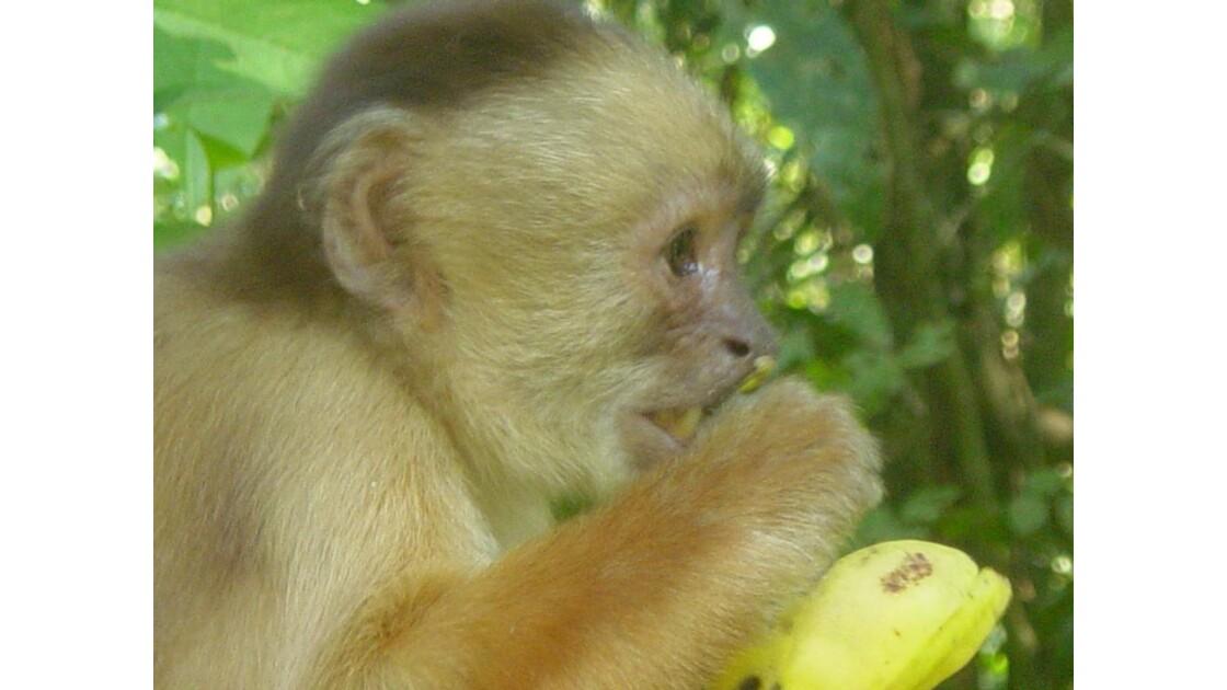Banal, un singe qui mange une banane !