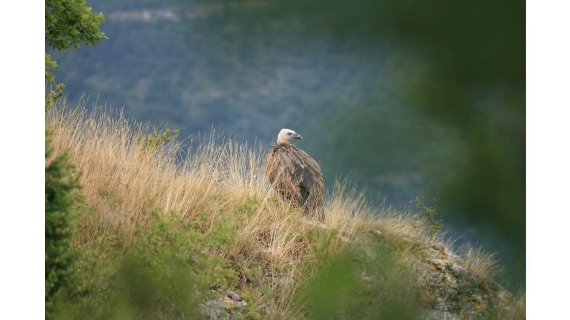 vautours causses