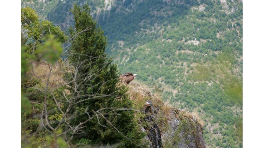 vautour causses