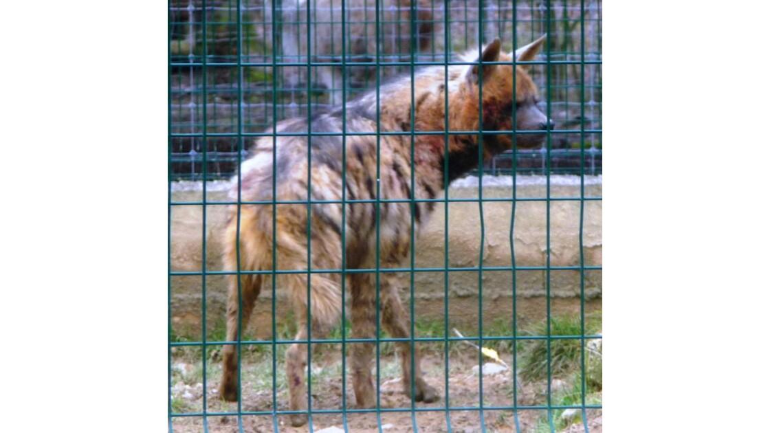 hyène en  captivité_067.JPG