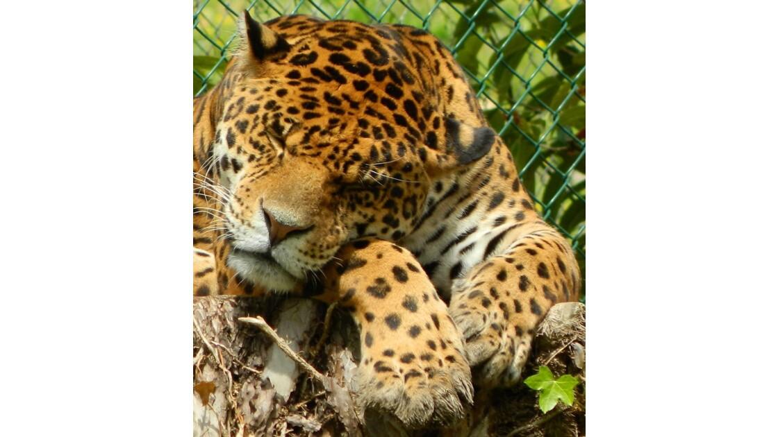Jaguar tranquille