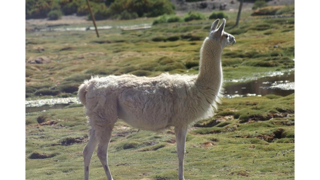 Lama des andes