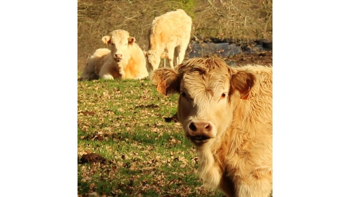 la vache qui rit...