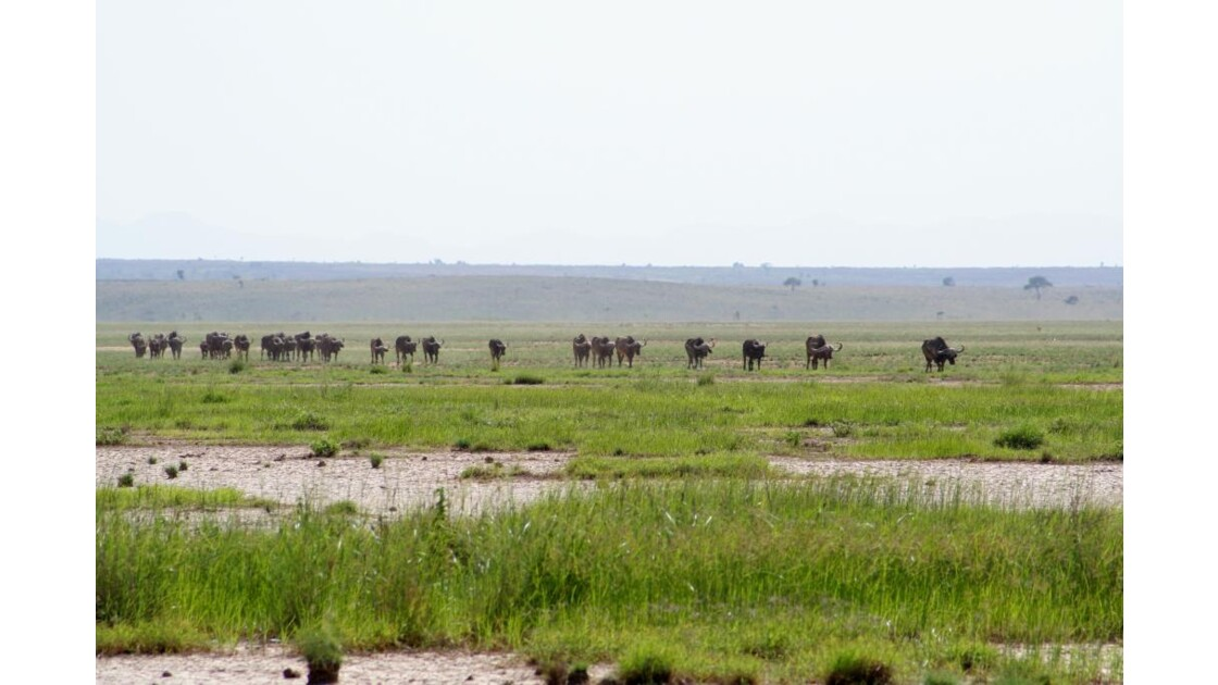 un troupeau de buffles