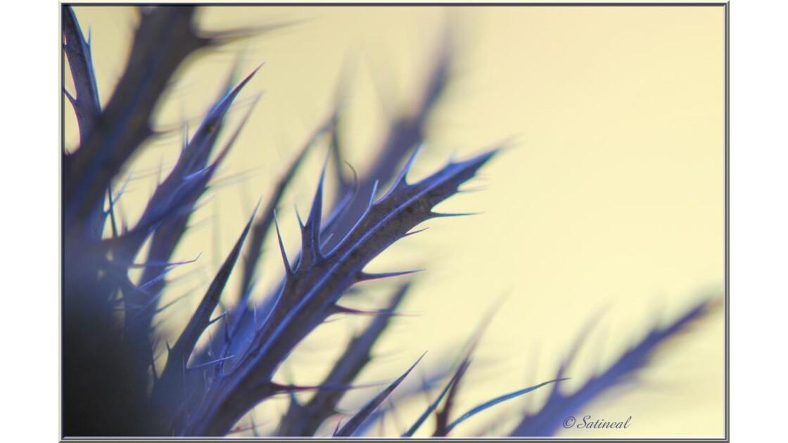 Feuillage du chardon bleu...