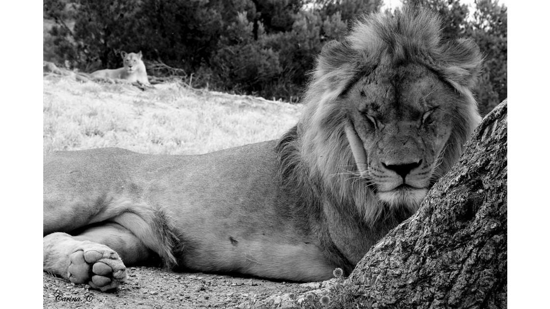 Lion et sa lionne