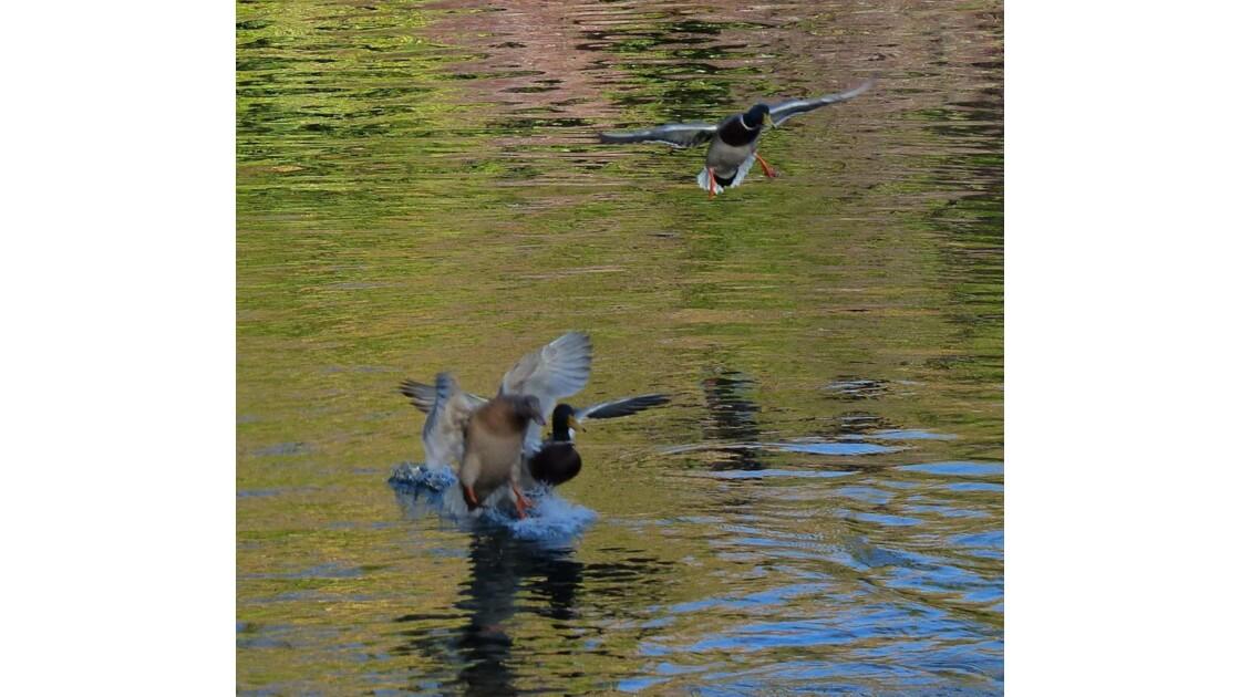 Atterrissage de canards