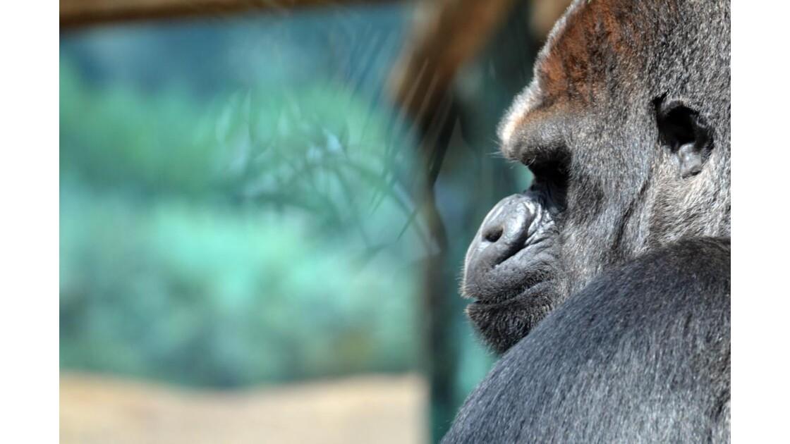 Gorille - Profil