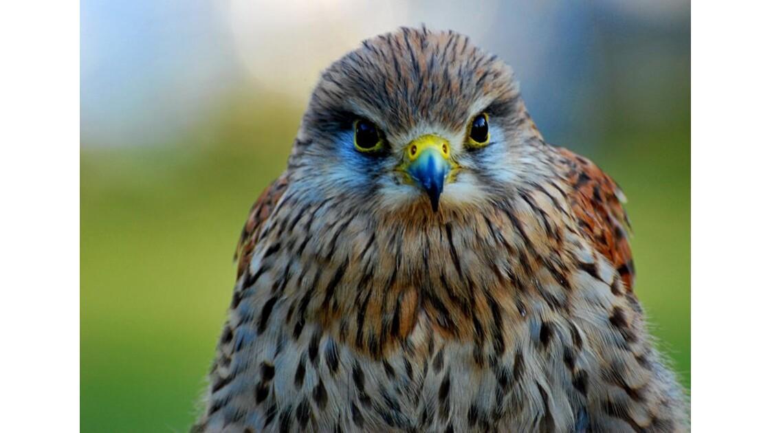Petit oiseau de proie