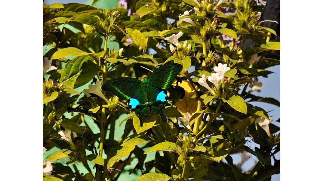 papillon 2 Népal