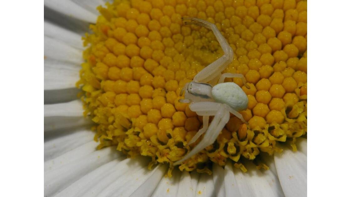 Araignée crabe dans marguerite