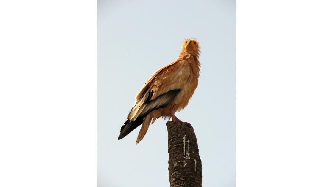 Un vautour égyptien - Socotra