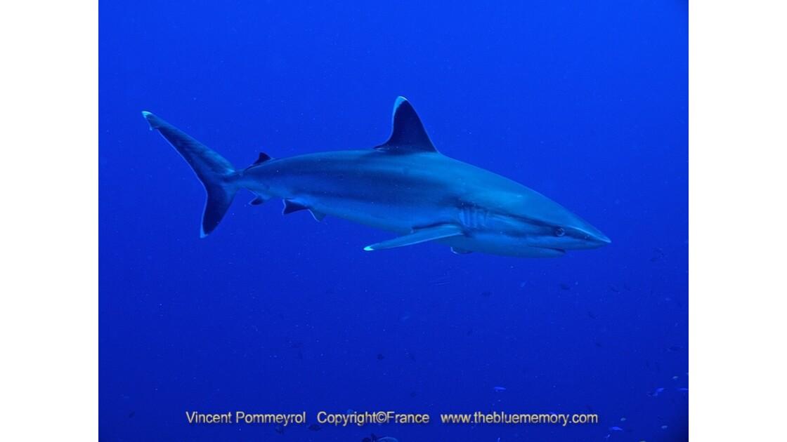 Requin pointe blanche - Rangiroa