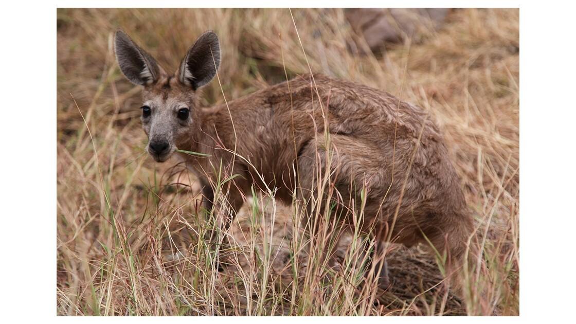 Kangourou de KataTjuta - Australie