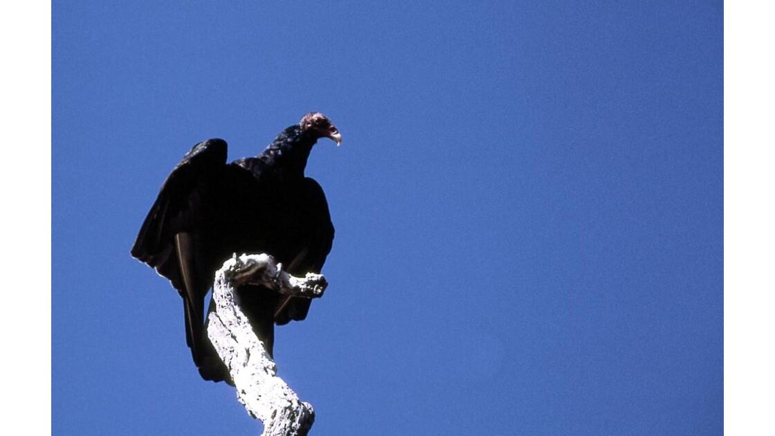 sombre condor