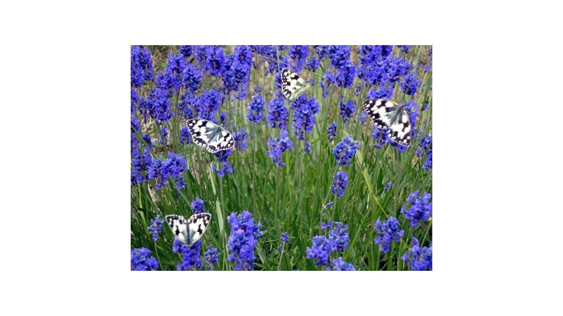 Vincent de Louvigny Ballet de Papillons