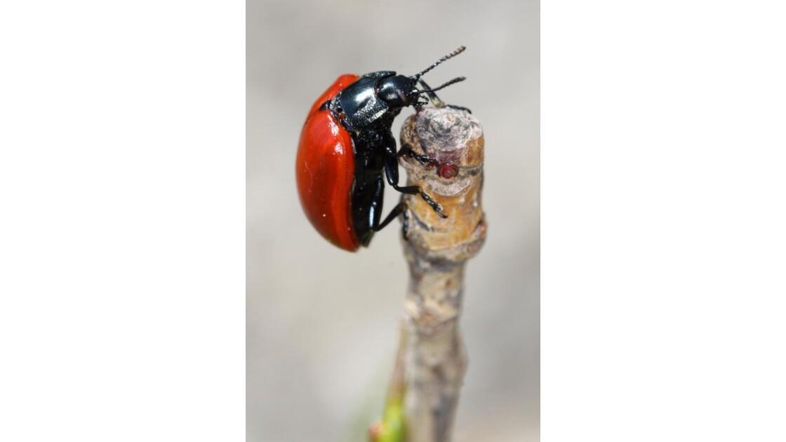 Scarabee (Chrysomela Populi)