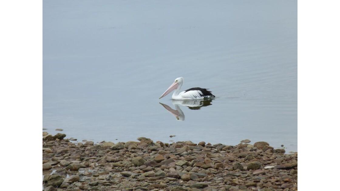 Pelican___Australie__Kangaroo_Island.JP