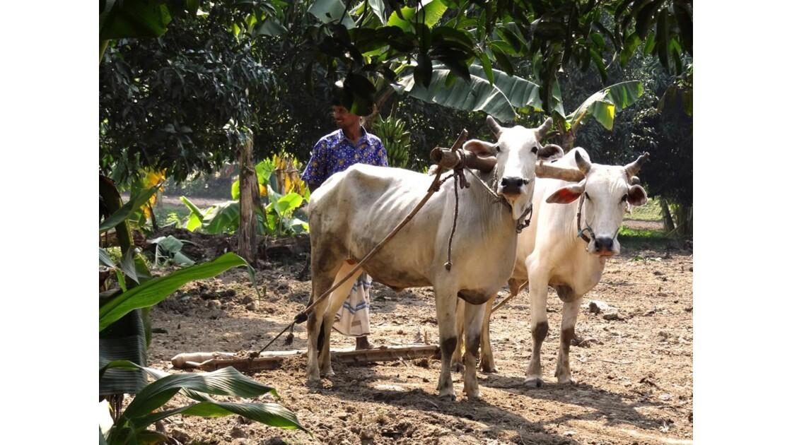 Travaux des champs - Bangladesh