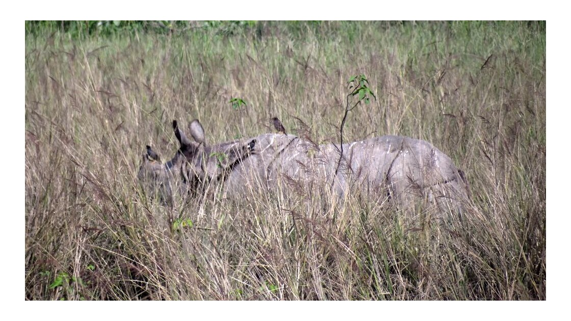 Assam - La faune