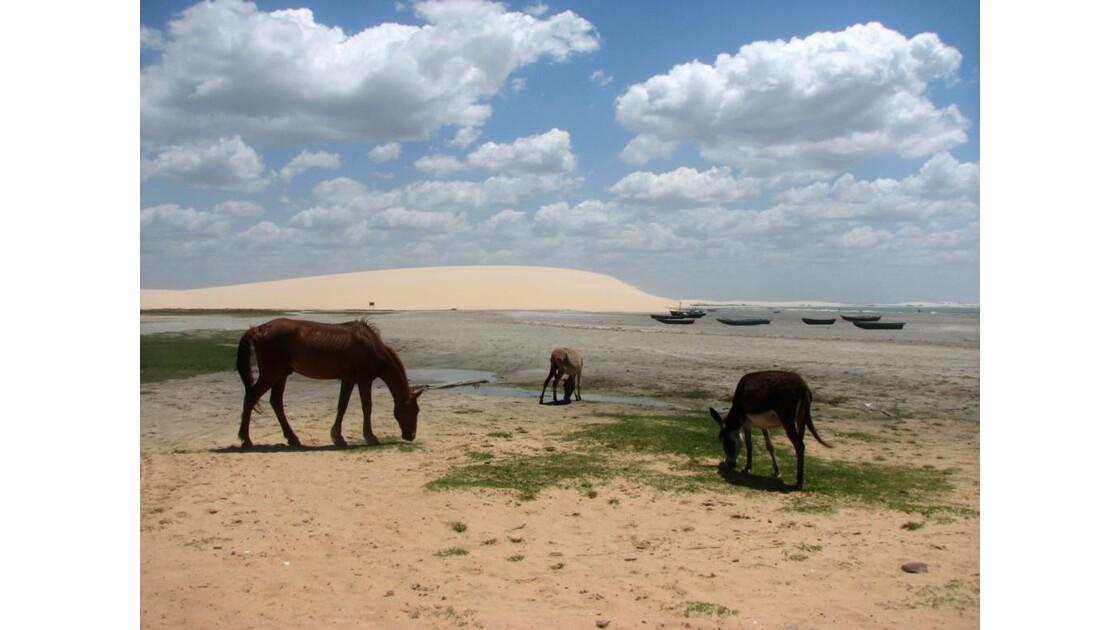 Anes et mulets à marée basse – Brésil