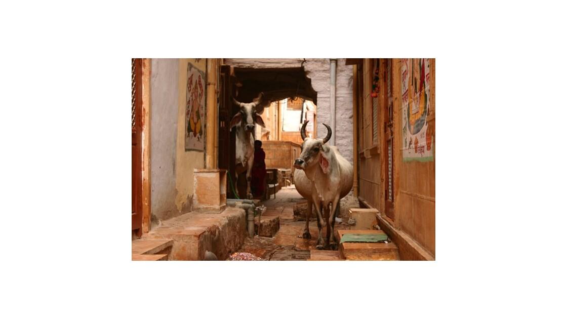 Vincent de Louvigny Sacrées vaches