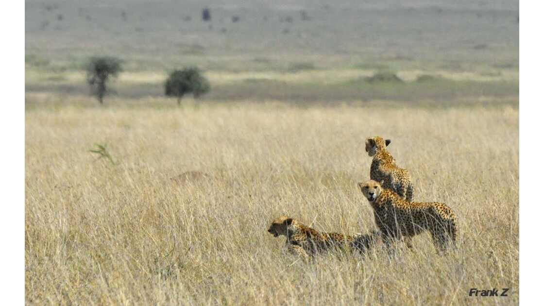 3 Guepards Serengeti