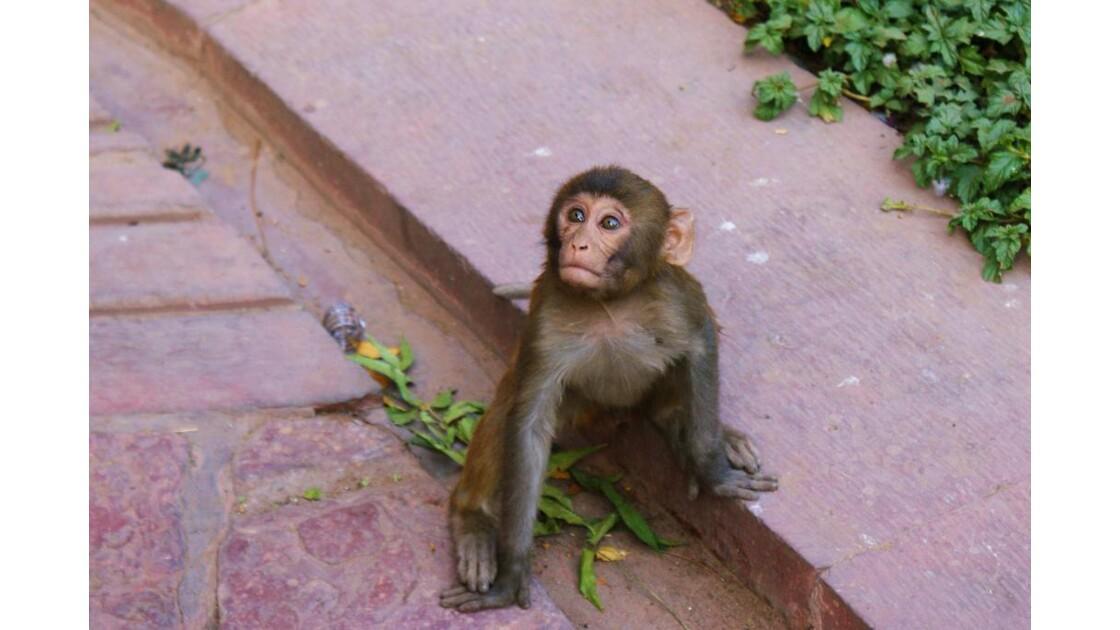 Petit Macaque au Fort Rouge (Agra, Inde)
