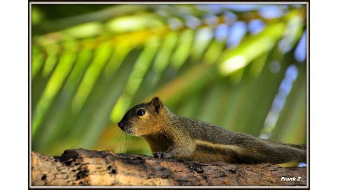 Ecureuil de Bali