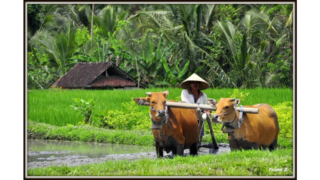 Boeufs en riziere