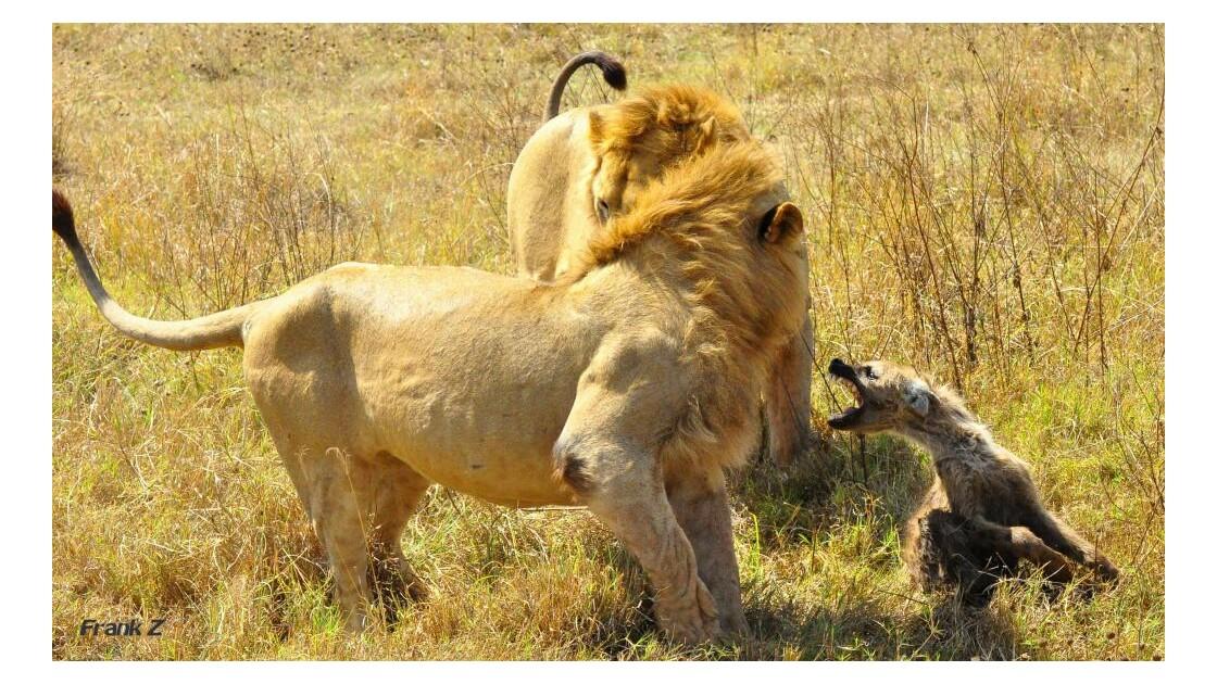 Lions attaquant une Hyene