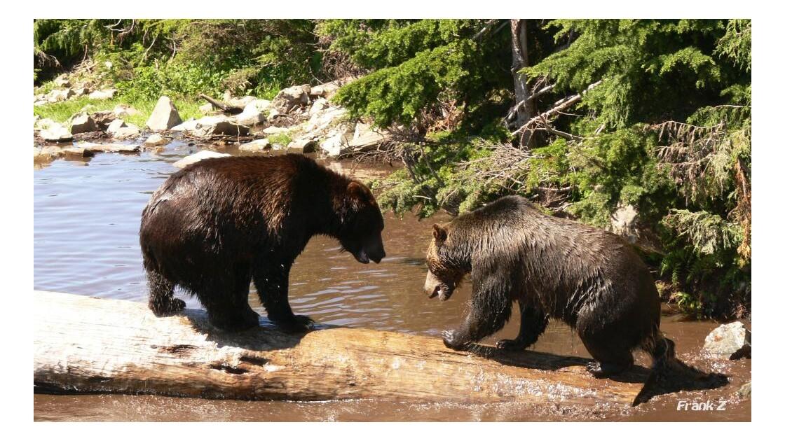 Bagarre de Grizzly