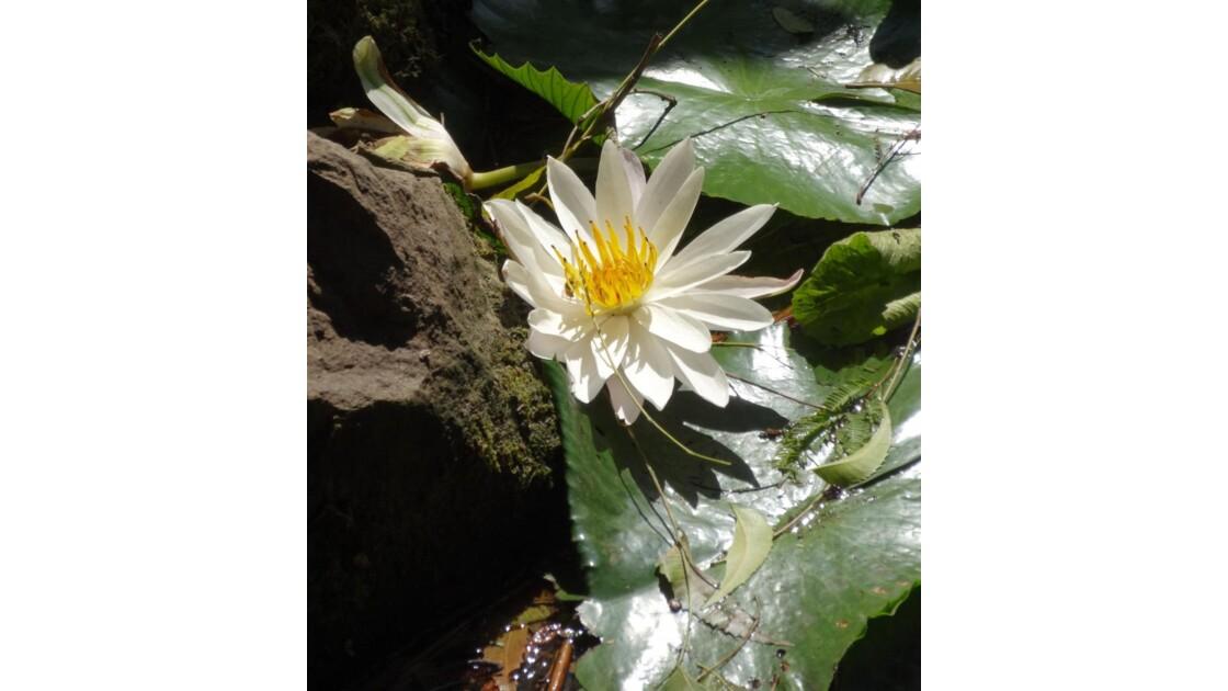 Lotus  au creux d un rocher