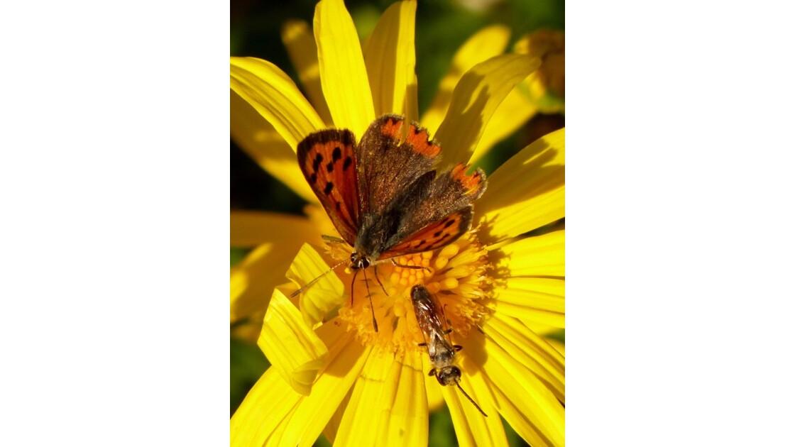 cuivre _ insecte.JPG