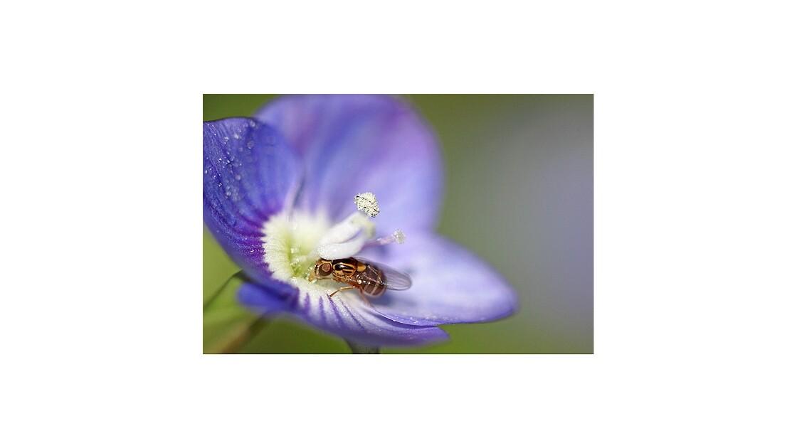 Véronique et insecte