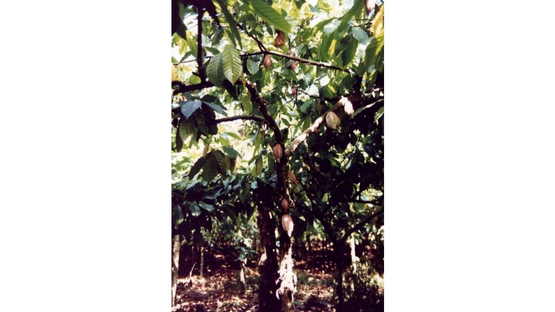 Plantation de cacaotiers.jpg