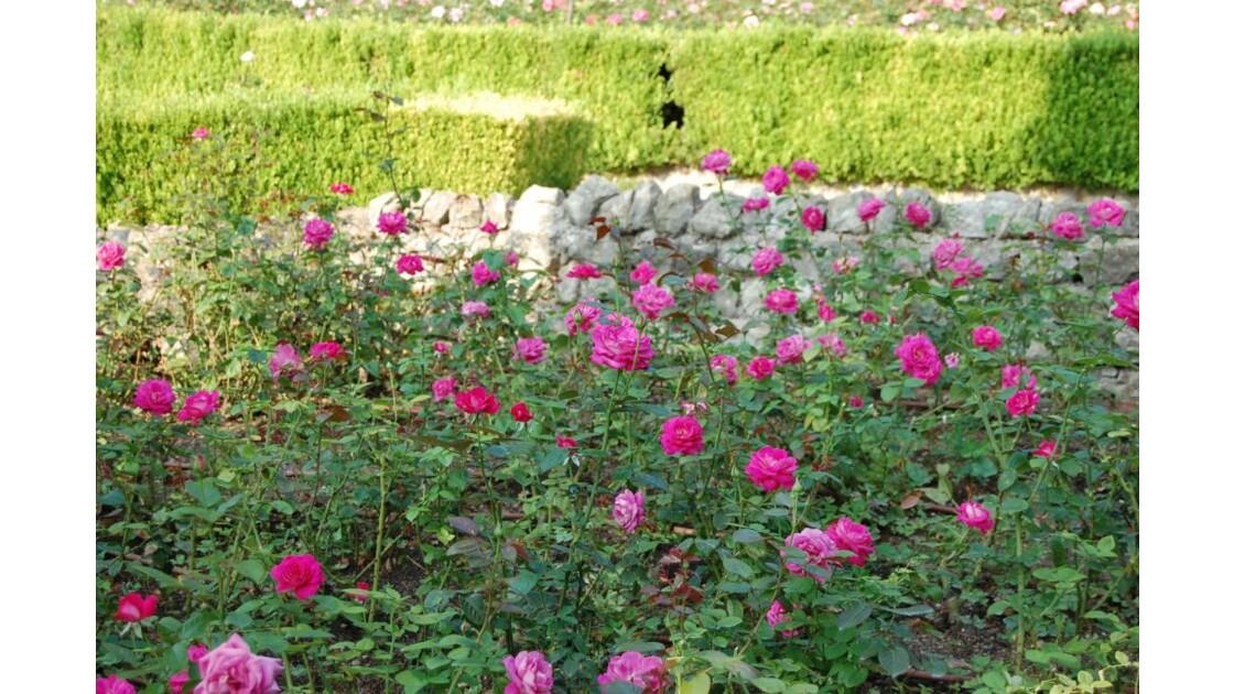 des roses roses