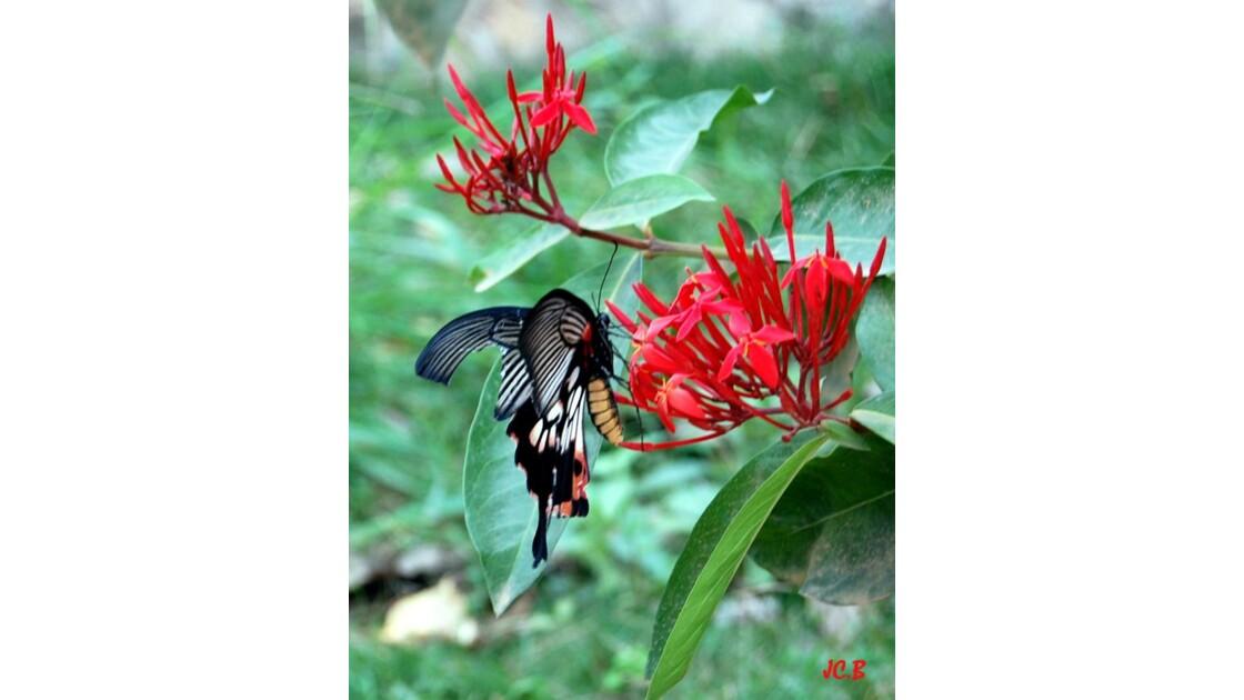 Papillon du laos