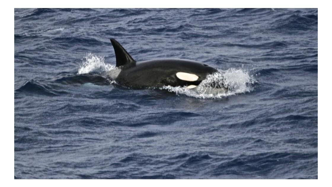 orque aux large de crozet