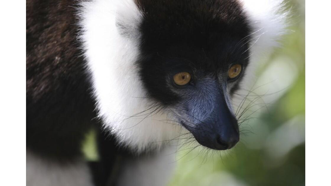 lemurien