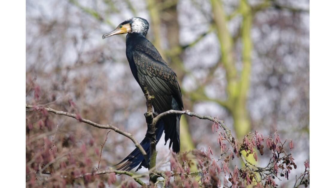 Cormoran en parrure nuptiale 1