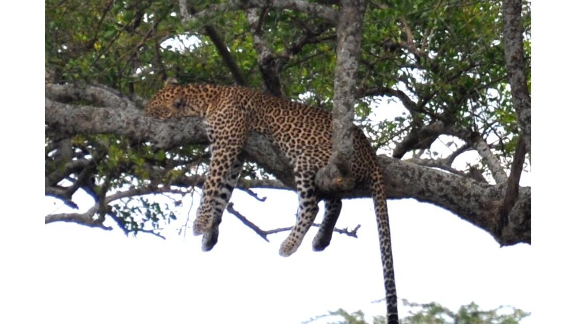 leopard au repos