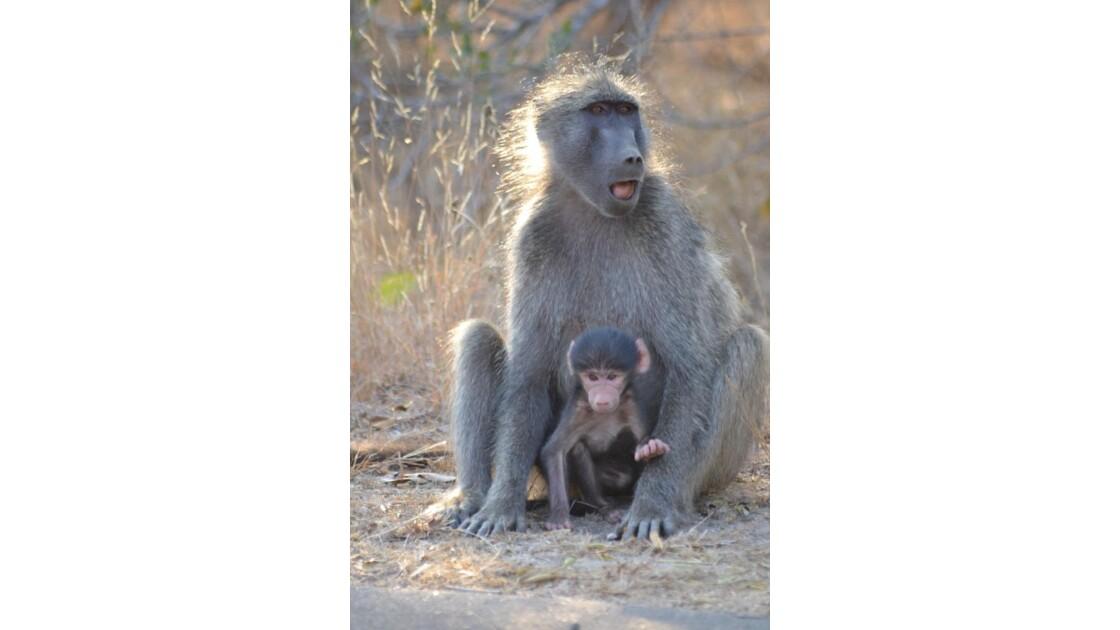 Instinct maternel de Babouins