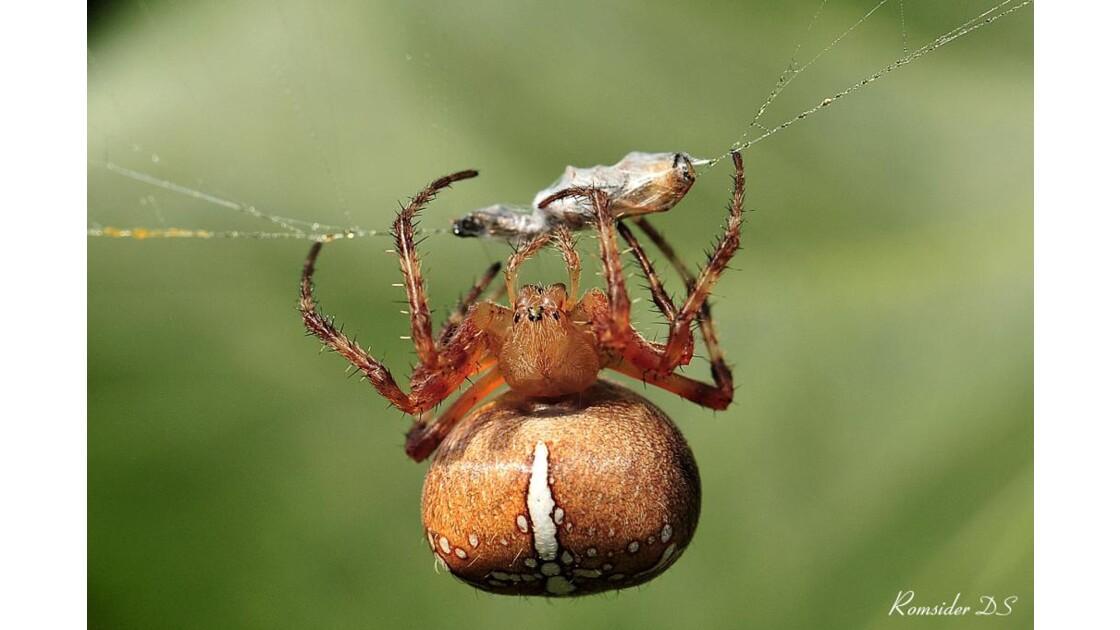 diner d'araignée