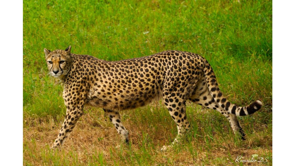 le guépard rôde