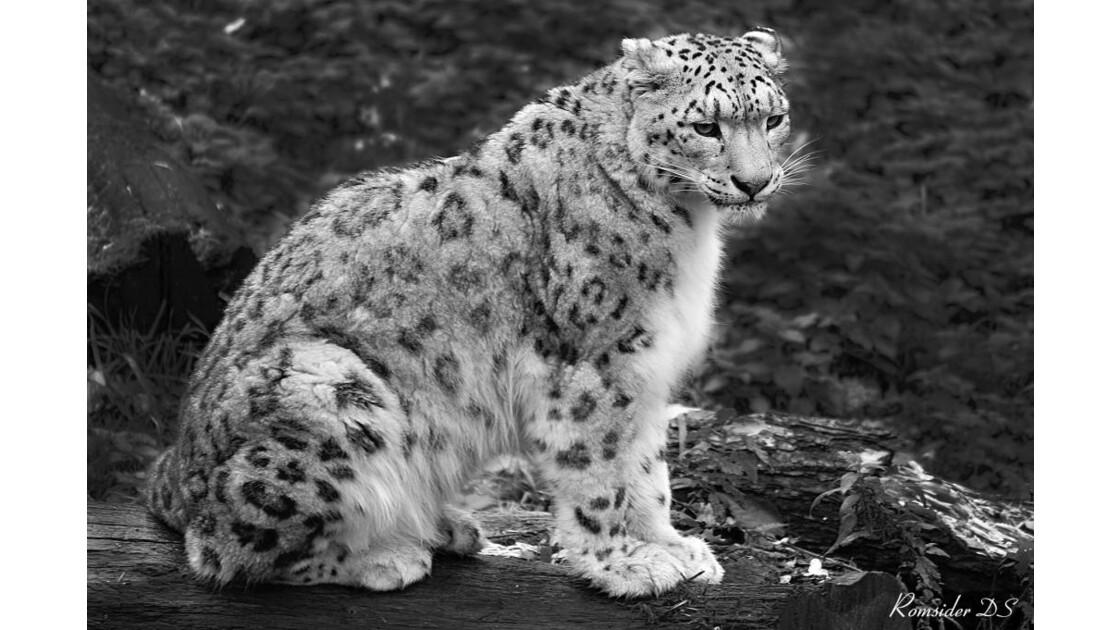 Panthère ou léopard des neiges