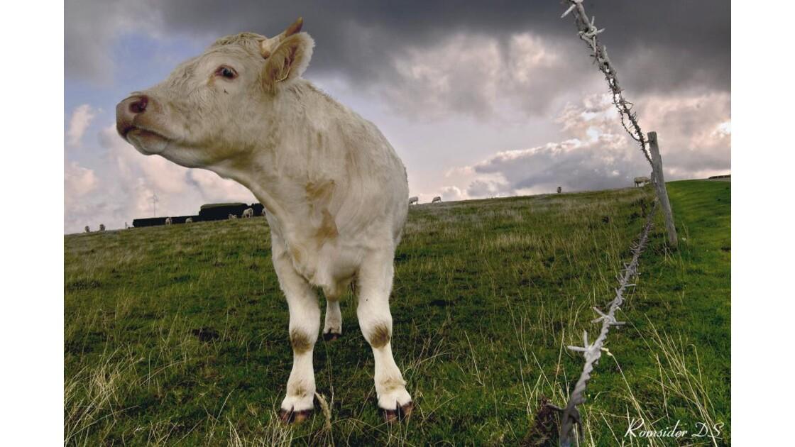 la vache et les barbelés