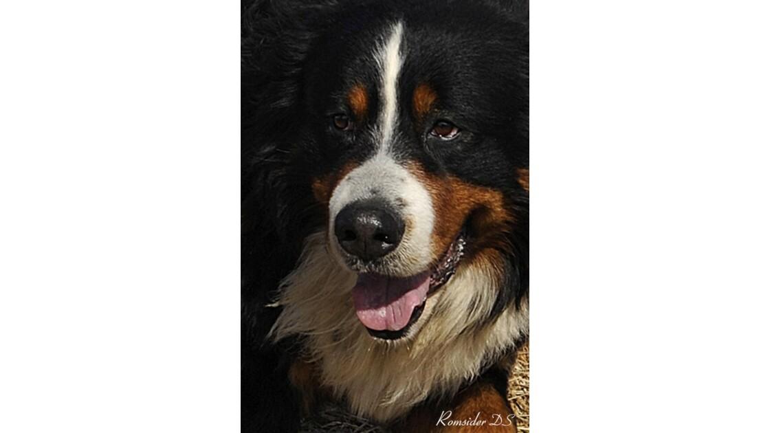 Portrait de chien Bouvier Bernois
