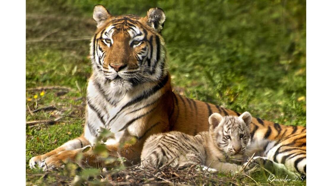 Tigre mère et fils