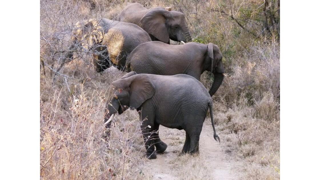310 - danse des éléphants